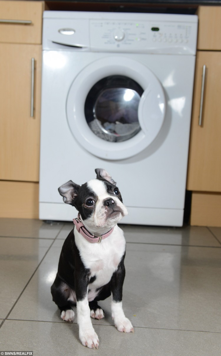 Boston Terrier Penny in Chester, Cheshire. Penny survived being found in a tumble dryer after 30 minutes. See SWNS Copy SWDRYER : A tiny puppy had a miracle escape after he survived being put in a tumble dryer - for 30 MINUTES. Penny the Boston Terrier was innocently popped in the machine by toddler Sienna Edwards, two, who unknowingly shut the door. Her mum Christine, 31, had no idea the three-month-old pup was inside and eldest Megan, 14, turned on the dryer which was filled with damp clothes. But half an hour later the mum-of-three was horrified when she realised tiny Penny was missing. She hauled open the tumble dryer door and found the baking hot dog amongst the sheets, and rushed him up to the bath where she held the limp pup under the cold tap. Panicked Christine bundled her into the car and drove straight to the vets where experts hooked him up to a drip and told the devastated mum to prepare for the worst. But miraculously the pooch escaped with just a burnt tummy, mouth and eye, and after a two-day stay at the vets was back to her normal happy self.