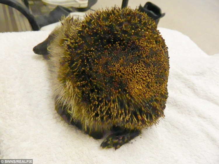 The RSPCA is warning people to be careful lighting fires this autumn after a hedgehog and her three babies were caught in the flames of a bonfire.  See MASONS story MNBONFIRE.  The mother hog and her three youngsters were taken to our East Winch wildlife centre near KingÃs Lynn, Norfolk on Sunday evening (4 October) after being discovered in a fire in a back garden in Norfolk.  Manager at the centre Alison Charles said: ÃAll four had burnt skin or spines and were suffering from smoke inhalation and sadly the mum hedgehog died shortly after arrival. Our vets said it was likely a combination of heat and smoke which killed her.Ã