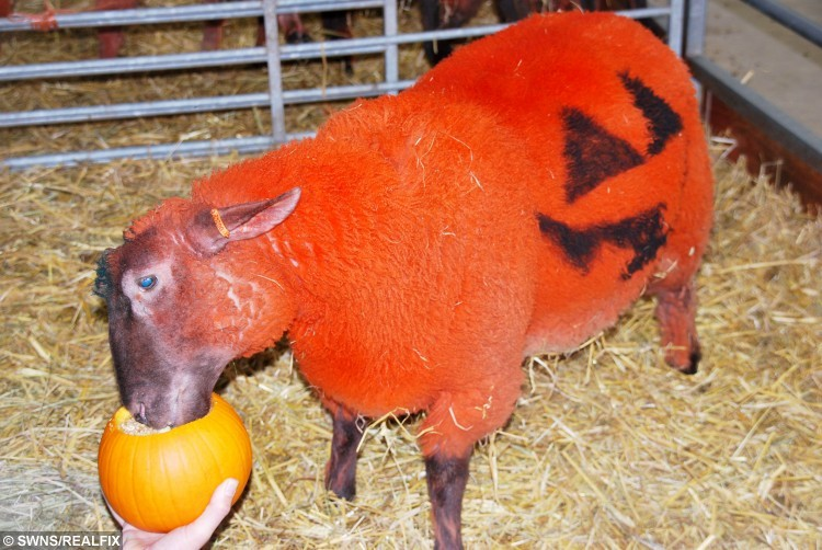 Sheep dyed bright orange in the run up to Halloween at Barleylands, Billericay, Essex.  See MASONS story MNSHEEP.  The flock have had a pumpkin make-over by having their fleecs dyed bright orange with organic hair dye, then having jack o'lantern face stencilled onto their sides.