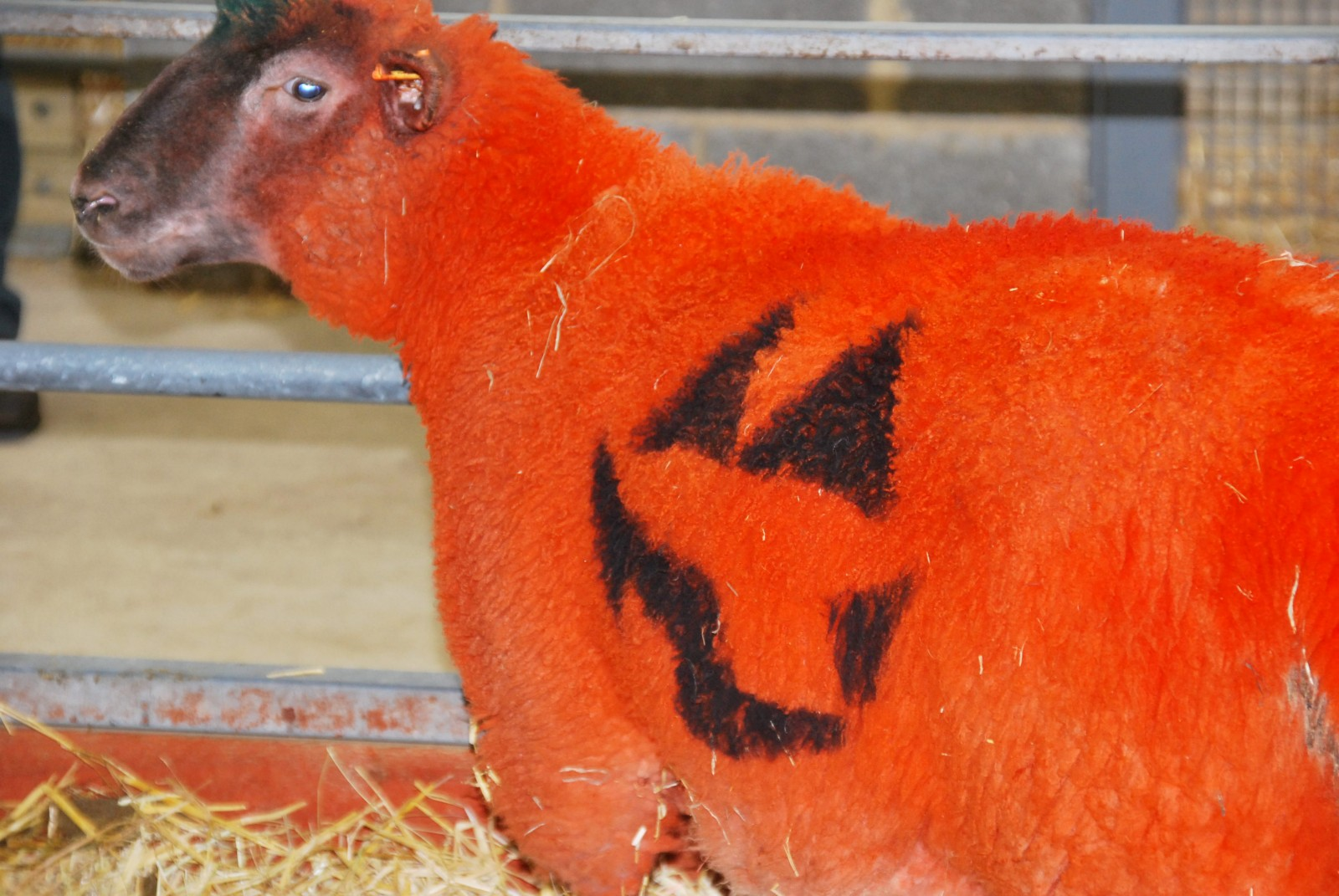 Ewe looking at me? Halloween fun down at the farm