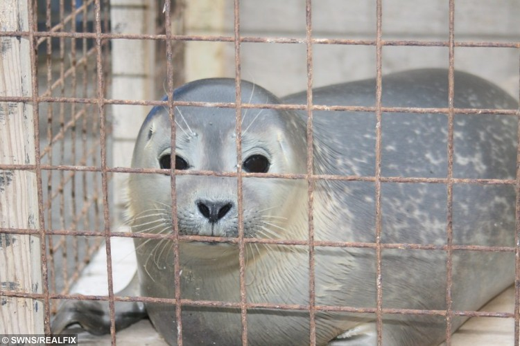 Celebrationthe seal that was found in a field with 30 cows is released back into the seal at Skegness, Lincolnshire. See Masons story MNSEAL; An orphaned baby seal pup after being found scared and surrounded by 30 cows in a field has been released back into the wild. The baby harbour seal had been cared for by Natureland for the last 16 weeks and was released on the beach behind the Skegness seal sanctuary yesterday (13/10). The pup, who was named Celebration after Natureland's 50 years' anniversary, was spotted in a muddy puddle at just five days old at Frampton Marsh RSPB Reserve, Lincolnshire. The helpless baby seal seemed doomed after it found itself lost in a creek back in July.