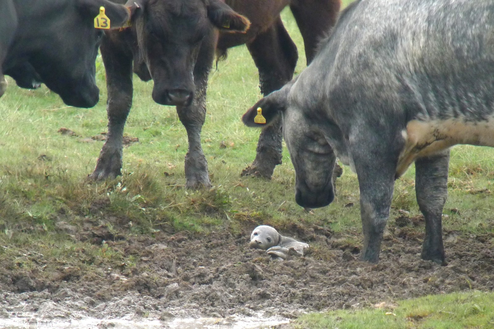 Discover the fate of the baby seal found terrified in a field of cows…