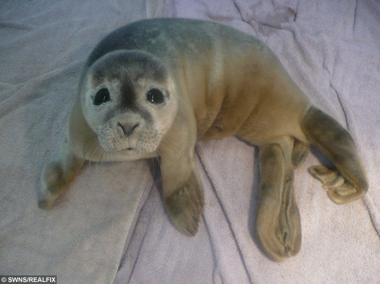 FILE PICTURE - A seal that was found in a field with cows near Skegness, Lincolnshire. See Masons story MNSEAL; An orphaned baby seal pup after being found scared and surrounded by 30 cows in a field has been released back into the wild. The baby harbour seal had been cared for by Natureland for the last 16 weeks and was released on the beach behind the Skegness seal sanctuary yesterday (13/10). The pup, who was named Celebration after Natureland's 50 years' anniversary, was spotted in a muddy puddle at just five days old at Frampton Marsh RSPB Reserve, Lincolnshire. The helpless baby seal seemed doomed after it found itself lost in a creek back in July.