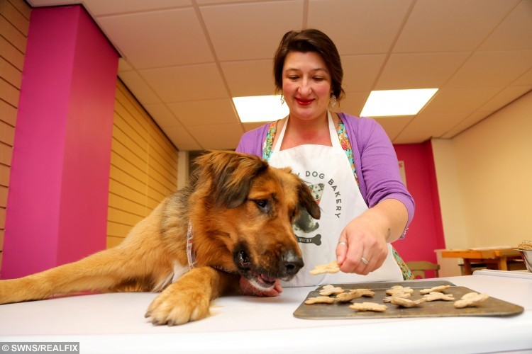 Lou Rodchenkova attempts to bake some tasty dog treats overseen by her Dog Jack, who work at The Fuzzy Dog Bakery in Whitby, North Yorkshire. It specialises in home-made treats for dogs including beefcakes, porky rolls and bloody bats. The treats, baked by Lou are free from additives and preservatives unlike many shop-bought dog treats. Owners wanting to but their dogs quality, clean products is growing in the UK. October 26 2015.