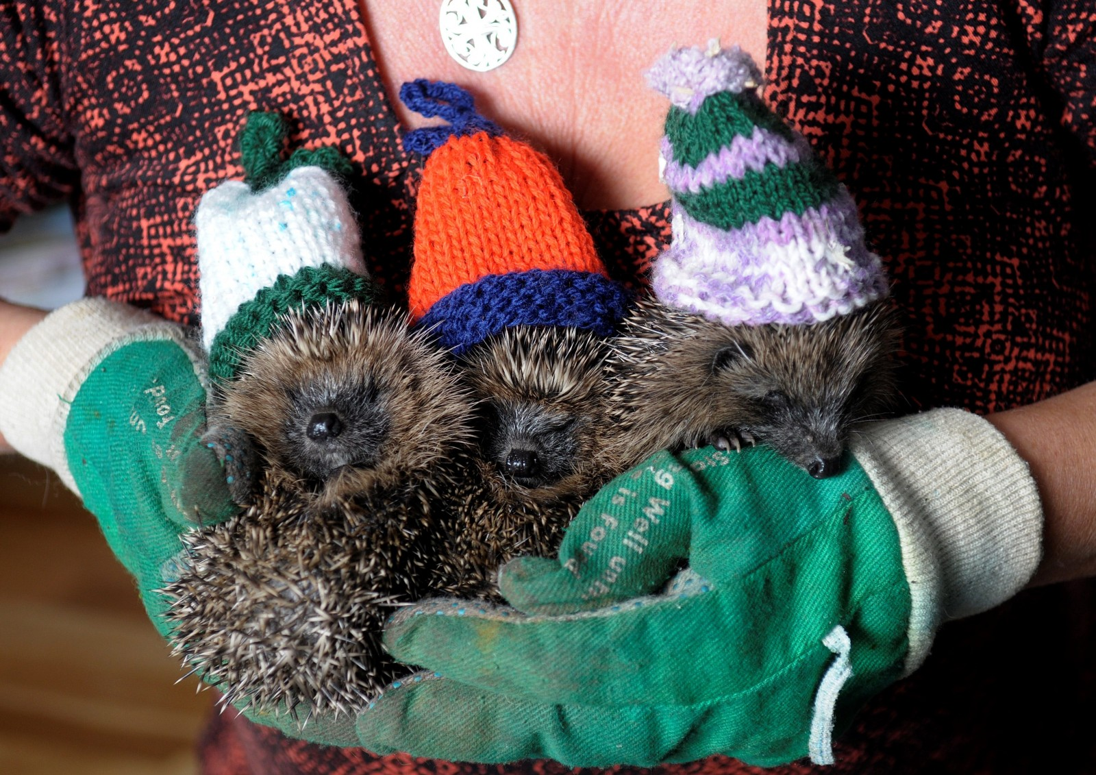 Three CUTE baby hedgehogs cosy up for the winter ahead wearing woollyhats