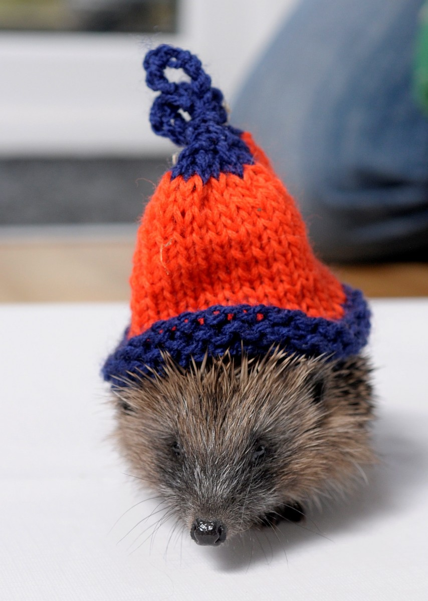 Angela Fenton from Blackpool, who is looking after three baby hedgehogs after she found them outside her property without parents. See Ross Parry copy RPYHAT : Three baby hedgehogs who found themselves in a prickly situation after they were left to fend for themselves in the cold are now keeping warm - in stylish WOOLLY HATS. The hoglets, affectionately nicknamed Cheeky, Sleepy and Greedy, were spotted wandering around in broad daylight by animal-lover Angela Fenton. Angela, 53, saved the babies from a grisly fate as they wandered towards the road and with the only animal sanctuary in the area full, she decided to take them in. The tiny hedgehogs, who were disorientated and desperate for food, needed to be kept warm throughout the winter to stop them going into hibernation and starving to death. And so to help the prickly survivors, a good samaritan who heard of their plight donated three miniature hats for them to sport over the winter months.