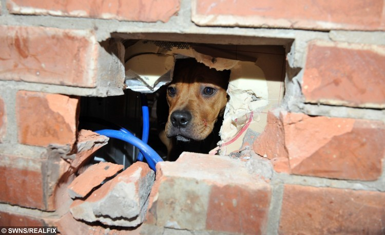 Scrunch the pup from Leyland, Lancs., got her head stuck in a wall after chewing her way through a washing machine outlet pipe. See Ross Parry Copy RPYWALL : This is the moment a playful pooch had to be freed by firefighters after getting her head stuck in a WALL. Pup Scrunch managed to push her head through the bricks while chewing her way through a washing machine outlet pipe. Her owner Maria Birtle was stunned to come home and find her pooch trapped, and her house trashed.  19 October 2015.