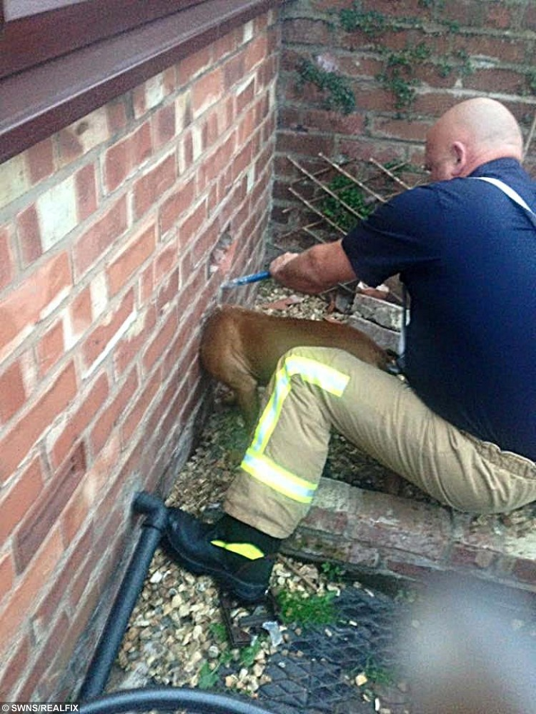Scrunch being freed by firefighters in Leyland, Lancs., after getting her head stuck in a wall. See Ross Parry Copy RPYWALL : This is the moment a playful pooch had to be freed by firefighters after getting her head stuck in a WALL. Pup Scrunch managed to push her head through the bricks while chewing her way through a washing machine outlet pipe. Her owner Maria Birtle was stunned to come home and find her pooch trapped, and her house trashed.  19 October 2015.