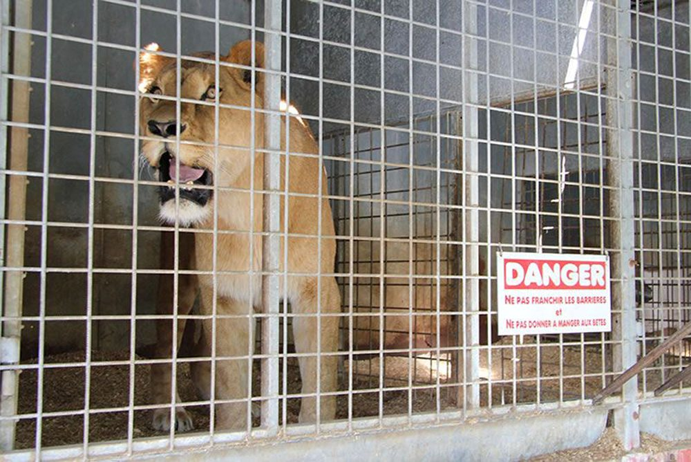 Discover the fate of four circus lions left terrified from years of abuse