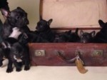 Record breaking litter of French bulldogs celebrate their first birthday!