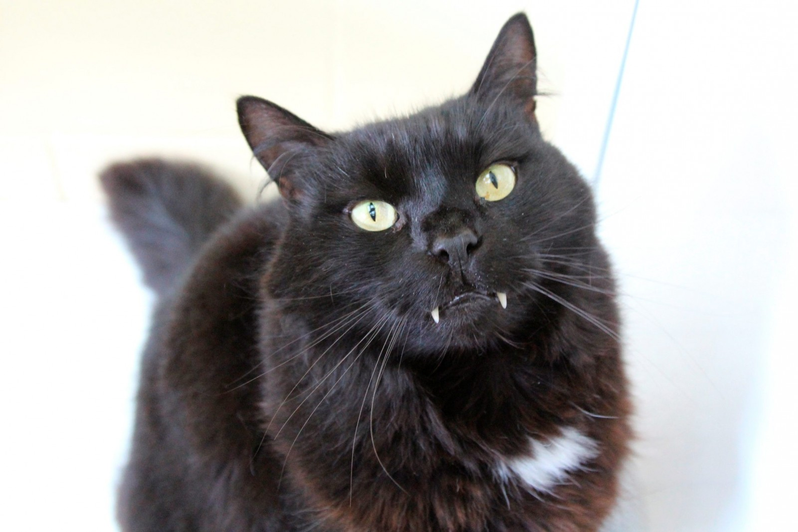 Count Cat-ula finds himself a fang-tastic new home!