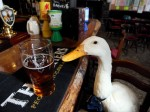 Celebrity duck is injured in a brawl after a enjoying a pint in his local pub