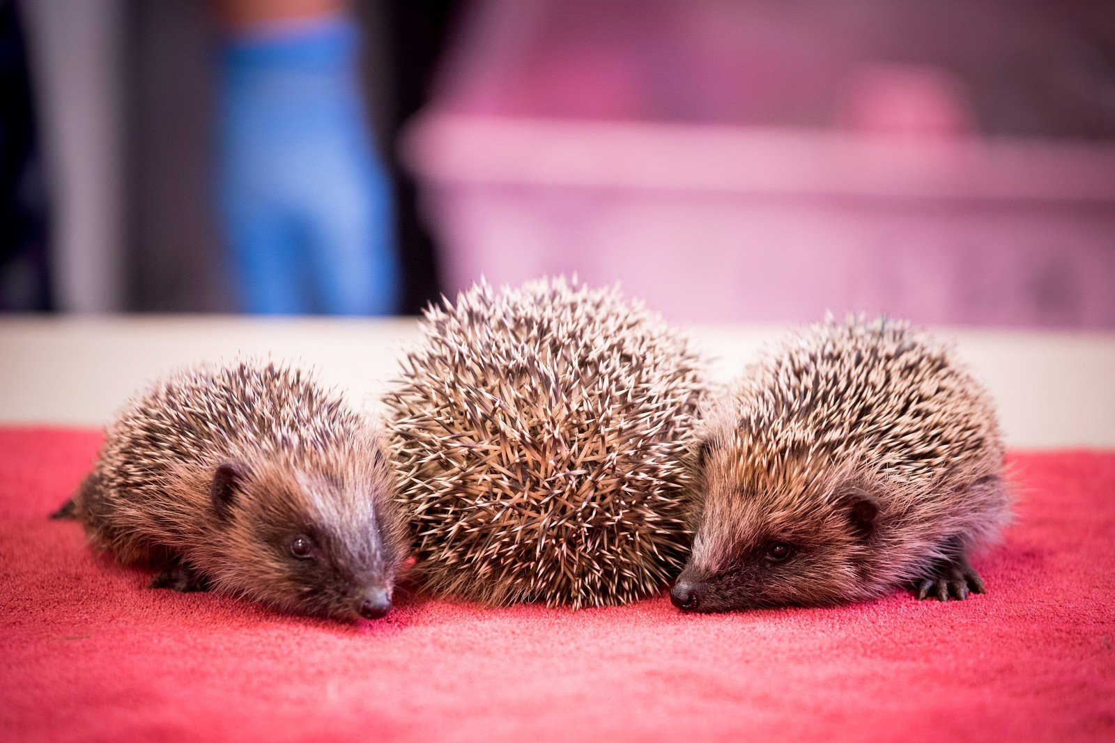 Cold weather sees a spike in baby hedgehogs abandoned by their mums