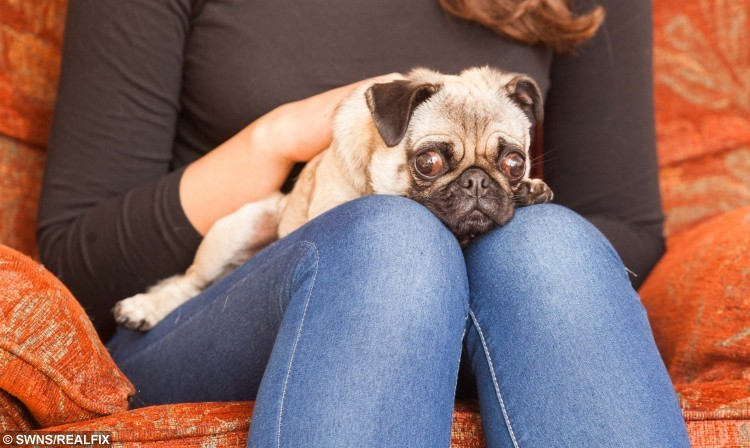 Katie Heaselden from Paignton, Devon, with her pug Penny. See SWNS story SWPUG; Britain's toughest pug has been reunited with its owner - after surviving NINE days alone on a remote and wild moorland. Distraught Katie Heaselden was walking her pampered pooch Penny on the Lancashire Fells when she became spooked and ran off. She launched a desperate appeal that saw hundreds of volunteers out searching for the tiny dog. Katie also clocked up nearly 2,000 miles herself travelling up and down from her home in Paignton, Devon.