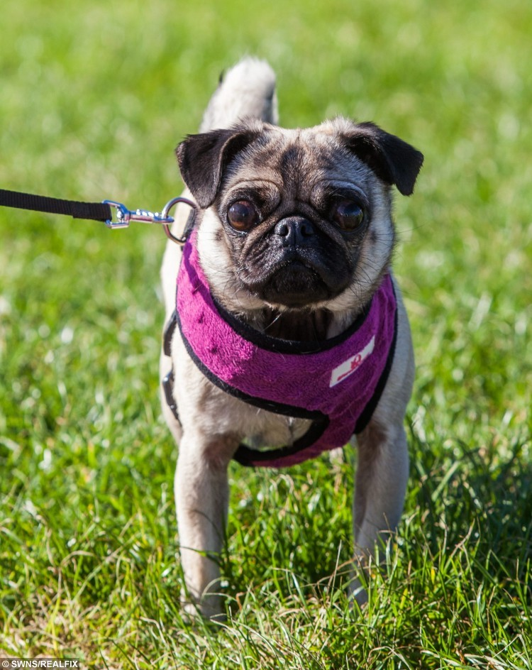 Katie Heaselden's pet pug Penny. See SWNS story SWPUG; Britain's toughest pug has been reunited with its owner - after surviving NINE days alone on a remote and wild moorland. Distraught Katie Heaselden was walking her pampered pooch Penny on the Lancashire Fells when she became spooked and ran off. She launched a desperate appeal that saw hundreds of volunteers out searching for the tiny dog. Katie also clocked up nearly 2,000 miles herself travelling up and down from her home in Paignton, Devon.
