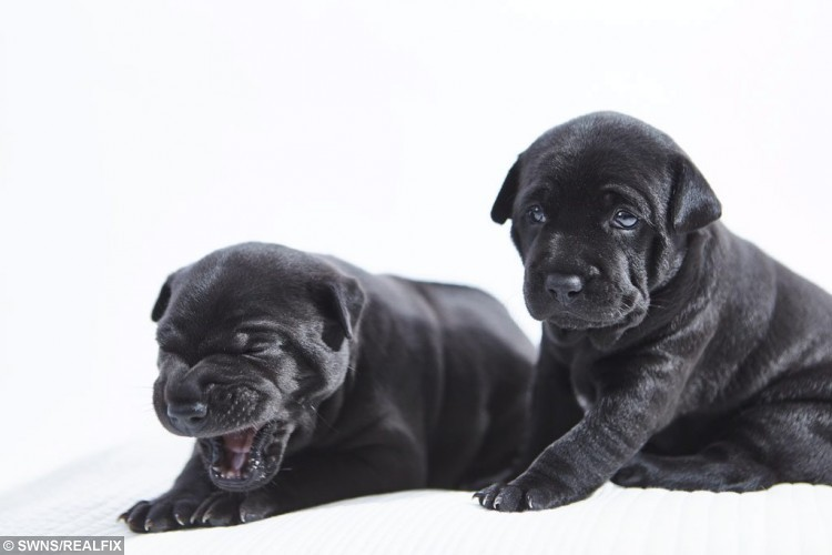 Phu Quoc Ridgeback puppies that have been successfully bred in Europe for the first time. See SWNS story SWPUPPIES; A dog-owner is delighted to welcome EuropeÃs first ever litter of the worldÃs rarest breed of dog, because the four puppies could be worth upwards of Ã10,000 Ã EACH. Catherine Lane, 42, is not only the first owner of Phu Quoc Ridgebacks in the Europe - but also the first to successfully breed a litter of puppies. The dog lover from Brighton, East Sussex, travelled all the way to Vietnam to collect two of the prize-winning Phu Quoc Ridgebacks - that are so rare there are only 800 registered in the world. Her pets Mood and Sirius, imported to the UK from the south-east Asian country, are now the proud parents of four adorable jet black pups that will be available for sale to the right families.