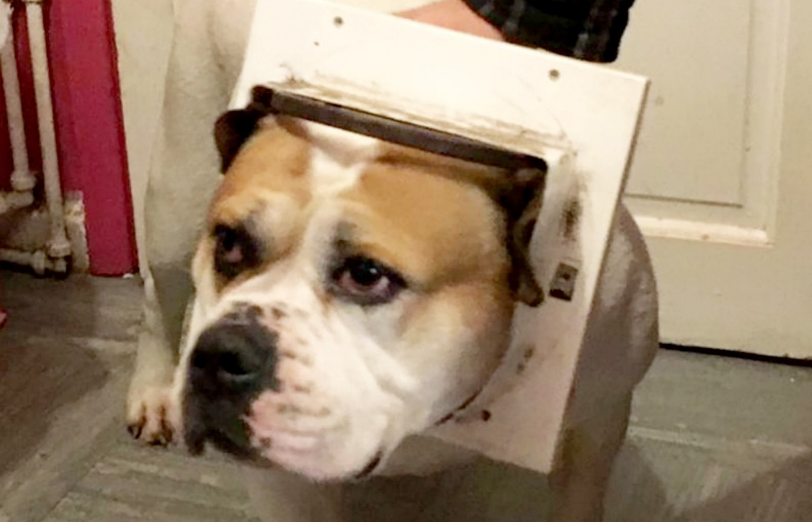 Hilarious moment a Bulldog had to be rescued from a cat flap!