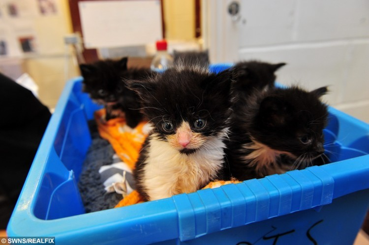 "Hull Animal Welfare Trust, Pinfold, South Cave, are seeking a new home for 6 kittens that were found in a box in Spring Bank, pictured is animal welfare coordinator Sam Falk with the kittens. See Ross Parry copy RPYKITTENS : Six adorable kittens were left frightened and scared after being cruelly dumped and abandoned on a doorstep. The three-week old cuties are still very tiny and need to cared for by the animal shelter that rescued them for six weeks before they can look to be rehomed. There are five black and white kittens and one grey kitten. Manager of Sunnydene Animal Shelter in Hull, East Yorks., said it is essential that cat owners neuter their pets to avoid unwanted litters.  She said: ""There really is no excuse for this. A local veterinary group even offers a month's free neutering."" The animal shelter is frequently inundated with cats and dogs in desperate need of new homes and the charity will never turn an animal in need away."