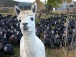 Find out why alpacas are standing guard over your Christmas lunch!