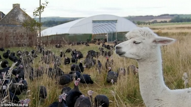 Higuita an alpaca that Craig Michie has brought in to his farm to keep his turkeys safe. See Centre Press story CPALPACA; A Scottish farmer has beefed up his security to keep his turkeys safe from foxes in the run up to Christmas using ALPACAS. Craig Michie, 33, was inspired by the farming techniques of his Colombian wife's family when he decided to bring in the pair of South American animals. He has even named them after Colombian football stars Carlos Valderrama and Rene Higuita, who were part of the countryÃs celebrated team in the early 1990s. The burly alpacas protect his turkeys from predators such as foxes, badgers and birds of prey.