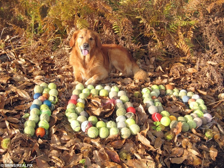 A super-sleuth dog has a collection of more than 100 tennis balls because he is able to detect them from 20ft away à by SMELL. Four-legged ball boy Bertie, a six-year-old golden retriever, has scored hundreds of lost tennis balls over the last three years, after he worked out he can detect the rubbery smell of the balls. See SWNS copy SWBALLS for full story.