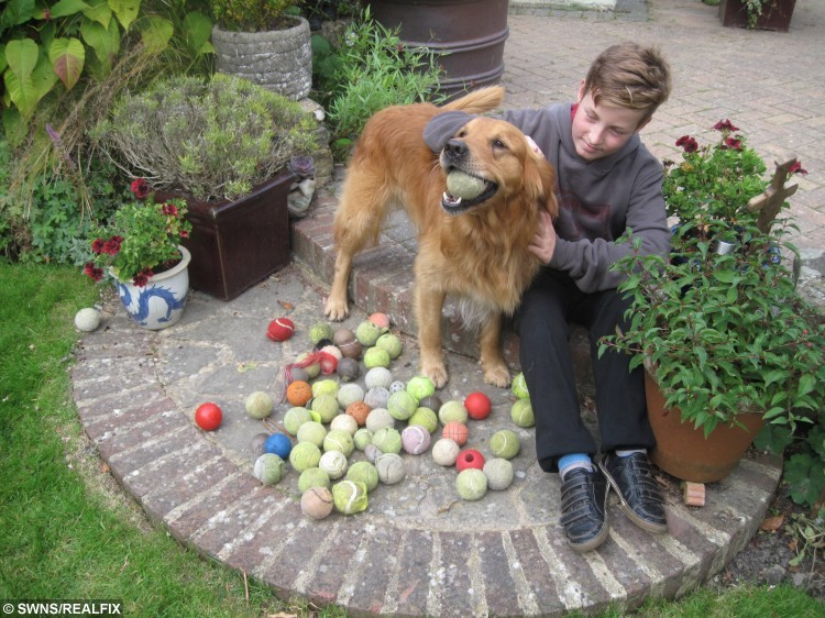 A super-sleuth dog has a collection of more than 100 tennis balls because he is able to detect them from 20ft away à by SMELL. Four-legged ball boy Bertie (pictured here with Grandson Finn Carden), a six-year-old golden retriever, has scored hundreds of lost tennis balls over the last three years, after he worked out he can detect the rubbery smell of the balls. See SWNS copy SWBALLS for full story.