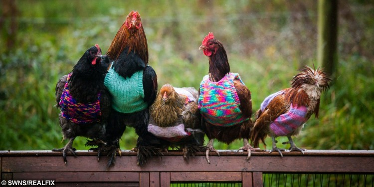 No Clucking Way! Woman hand knits her hens woolly jumpers to keep ...