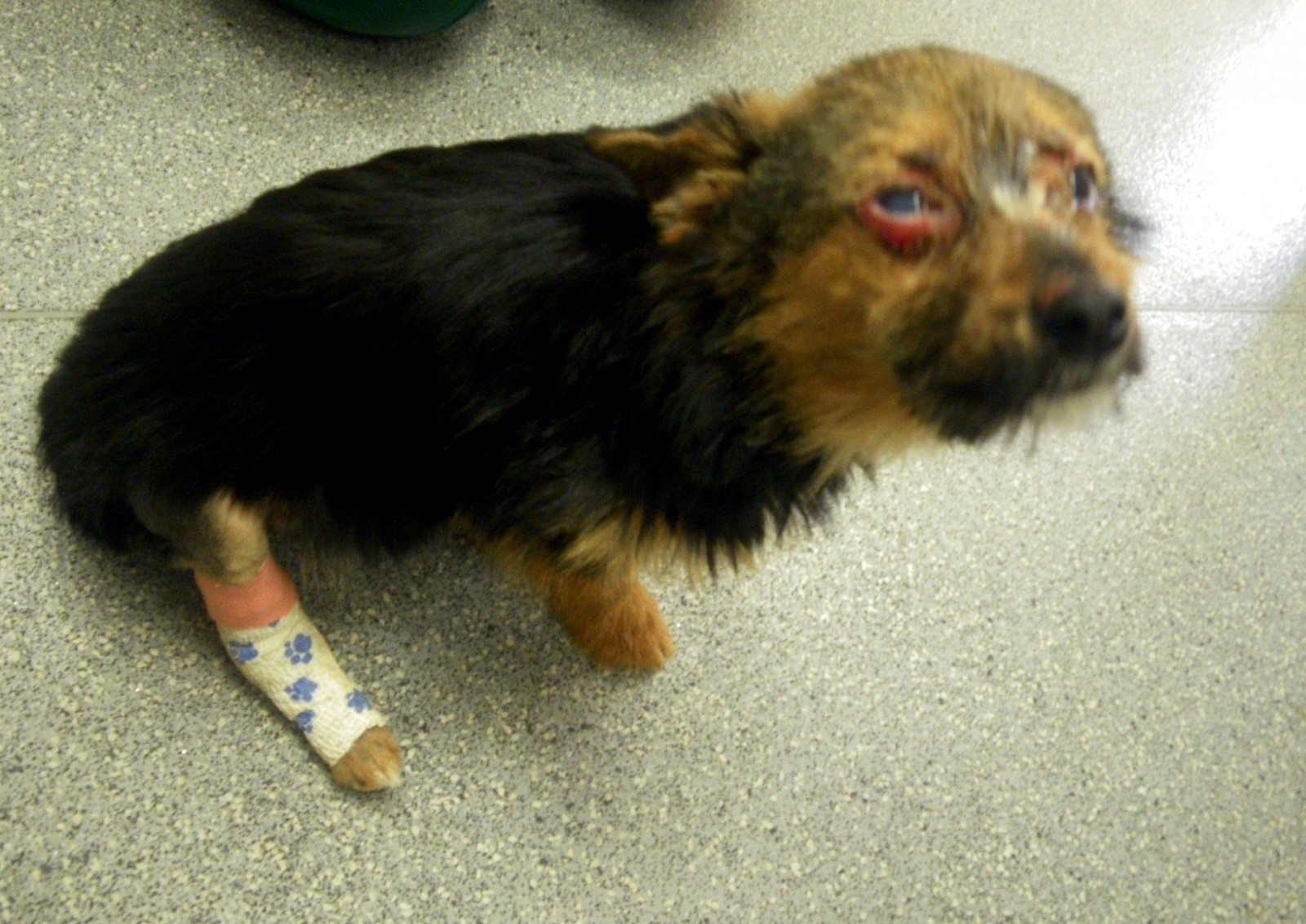 This tiny dog was subjected to the worst cruelty the RSPCA has ever seen