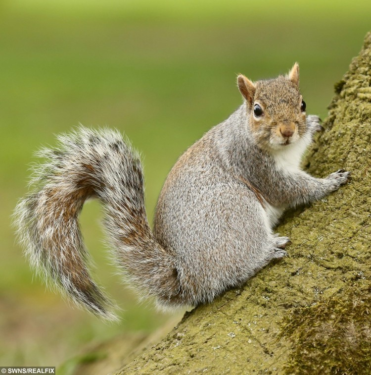 """FILE PICTURE - A squirrel.  A young family were shocked when an enforcement officer slapped them with a Ã60 fine, FOR FEEDING A SQUIRREL.  See MASONS story MNSQUIRREL.  Sandra Spearing, 45, was with her daughter and one year-old granddaughter Lacey Louise Murphy waiting for a taxi.  After giving Lacey some Christmas cake she'd bought in Iceland, she encouraged her granddaughter to give the cake to two squirrels they had seen in a churchyard.  She said: """"I said to throw them the cake instead of wasting it. The next moment an enforcement officer came over and said 'what have you just thrown?'Ã  The Enforcement officer issued the fine to Sandra's daughter, Emma-Louise Dawson, 21, but she took on the fine herself."""