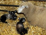 """Farmers are celebrating a miracle after a """"virgin"""" ewe gave birth to twin lambs."""