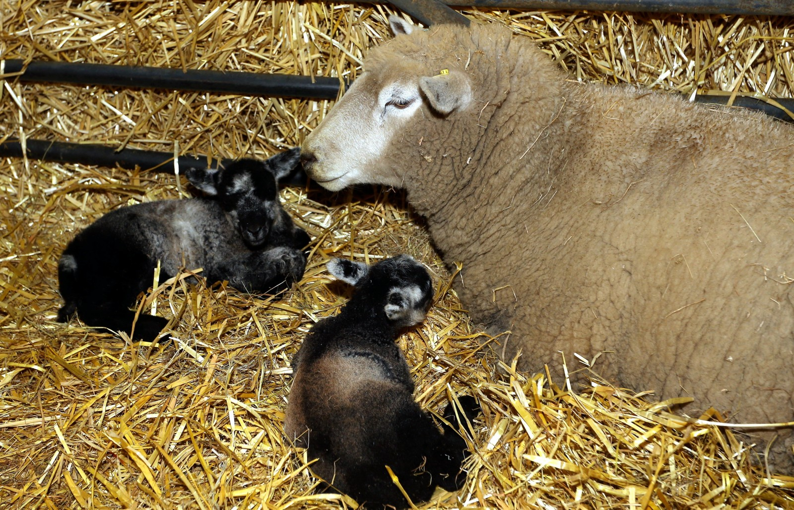 "Farmers are celebrating a miracle after a ""virgin"" ewe gave birth to twin lambs."