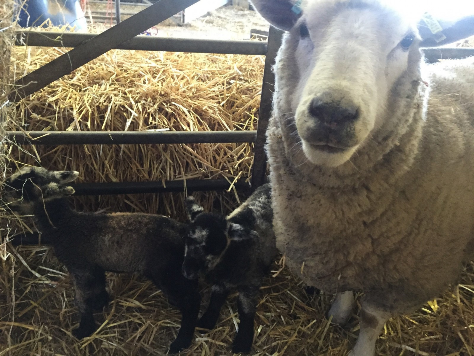 """Shirley the Dorset Ewe with her two newborn lambs. See News Team story NTIEWE; Farmers are celebrating a """"Christmas miracle"""" after a 'virgin' ewe gave birth to twin lambs. Shirley showed no signs of having mated with Dave the ram and a recent ultrasound scan came back negative. Staff at White Post Farm in Farnsfield, Notts., were stunned when they found her nursing the little lambs in her pen when they turned up for work at 7.30am on Wednesday (23/12). Spokesman for the farm Anthony Moore said yesterday (Thurs): """"As far as we're concerned it's a Christmas miracle.  PICTURES - Mark Lee INFO MUST WIRE PICS ASAP FOR INTER WEB  - A ewe was scanned to see if it was pregnant but it came back negative – but today it has given birth to twins – one black one white. Contact Anthony: 01623882977 Booked by Rachel: 07710505138"""