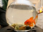 Burglars with a guilty conscience save pet goldfish after smashing his bowl