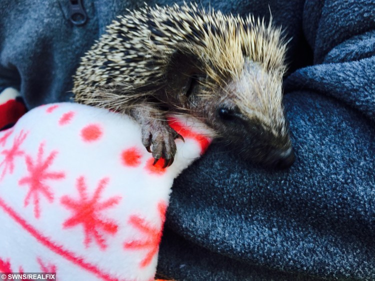 Titch the orphan hedgehog will stay warm this winter with a blanket made from a onesie. Thirty blankets, created out of leftover onesie material, have been made for the Cleveland Hedgehog Preservation Society (CHPS) in tyneside by staff at The All-in-One Company which makes onesies. December 3 2015. See Ross Parry copty RPYONE : These rescued hedgehogs are kept alive and warm with blankets - made from ONESIES. Dozens of the prickly creatures found struggling in the wild are being nursed to health in the freeze-busting fleeces. A mini blanket made out of a onesie will help keep hedgehogs including orphans Autumn and Titch warm during the winter. Thirty blankets, created out of leftover onesie material, have been made for the Cleveland Hedgehog Preservation Society (CHPS) by staff at The All-in-One Company. It has dozens of bags of remnant material and asked charities throughout the North East how it could be put to good use.