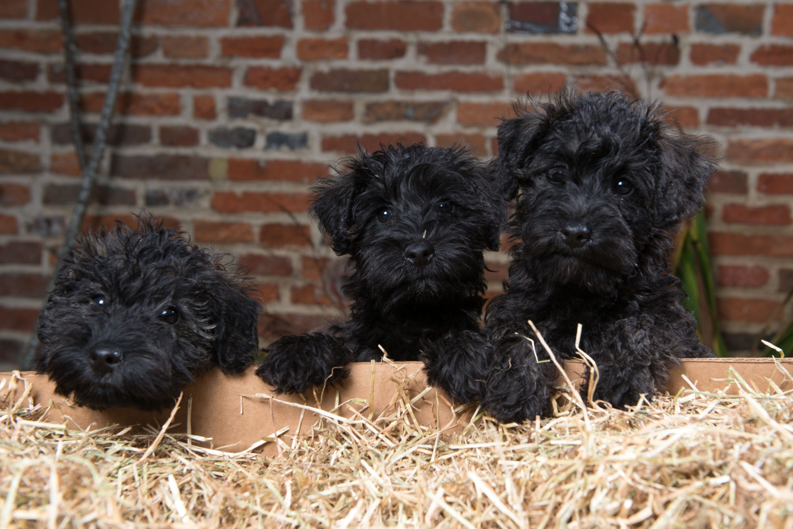 Abandoned puppies Parsnip, Spud and Sprout are found in a stable