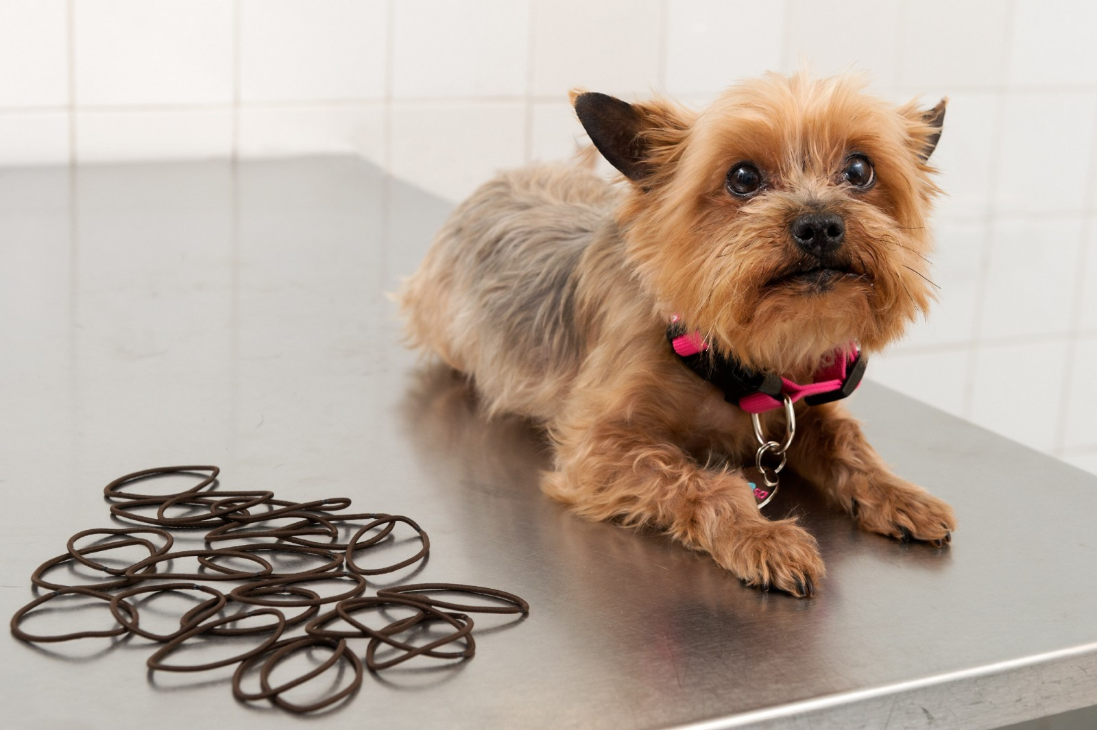 Yorkshire terrier's lucky escape after eating 22 hair bobbles