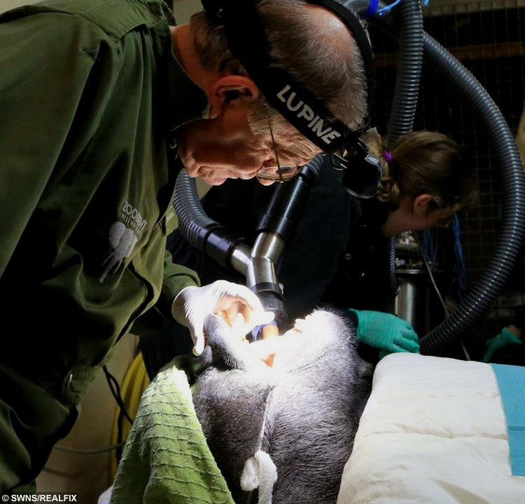 A team of vets and dentists carry out the tricky root canal on Pertinax at Paignton Zoo. See SWNS story SWGORILLA: Pertinax, a 28 stone (179kg) gorilla at Paignton Zoo in Devon has had a root canal operation. It took a team of dentists 40 minutes and was a complete success said the zoo.
