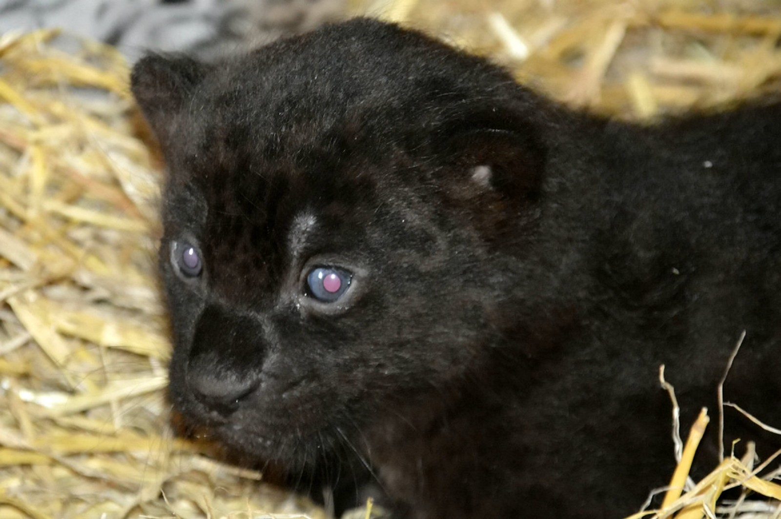 Baby Jaguars . See SWNS story SWJAG: A pair of adorable baby jaguars have been born at a wildlife park but couldn't look more different - because one is all black. The twin big cats were born at Wingham Wildlife Park earlier this month to their mother Luna, and underwent their first health check. According to keepers at the park in Canterbury, Kent, the black jaguar cub is the same colour as her mother, while the male, yellow-spotted cub takes after their father, Loki. It is the second time Luna has given birth at the park after previously having the twins' older sister Poppy.