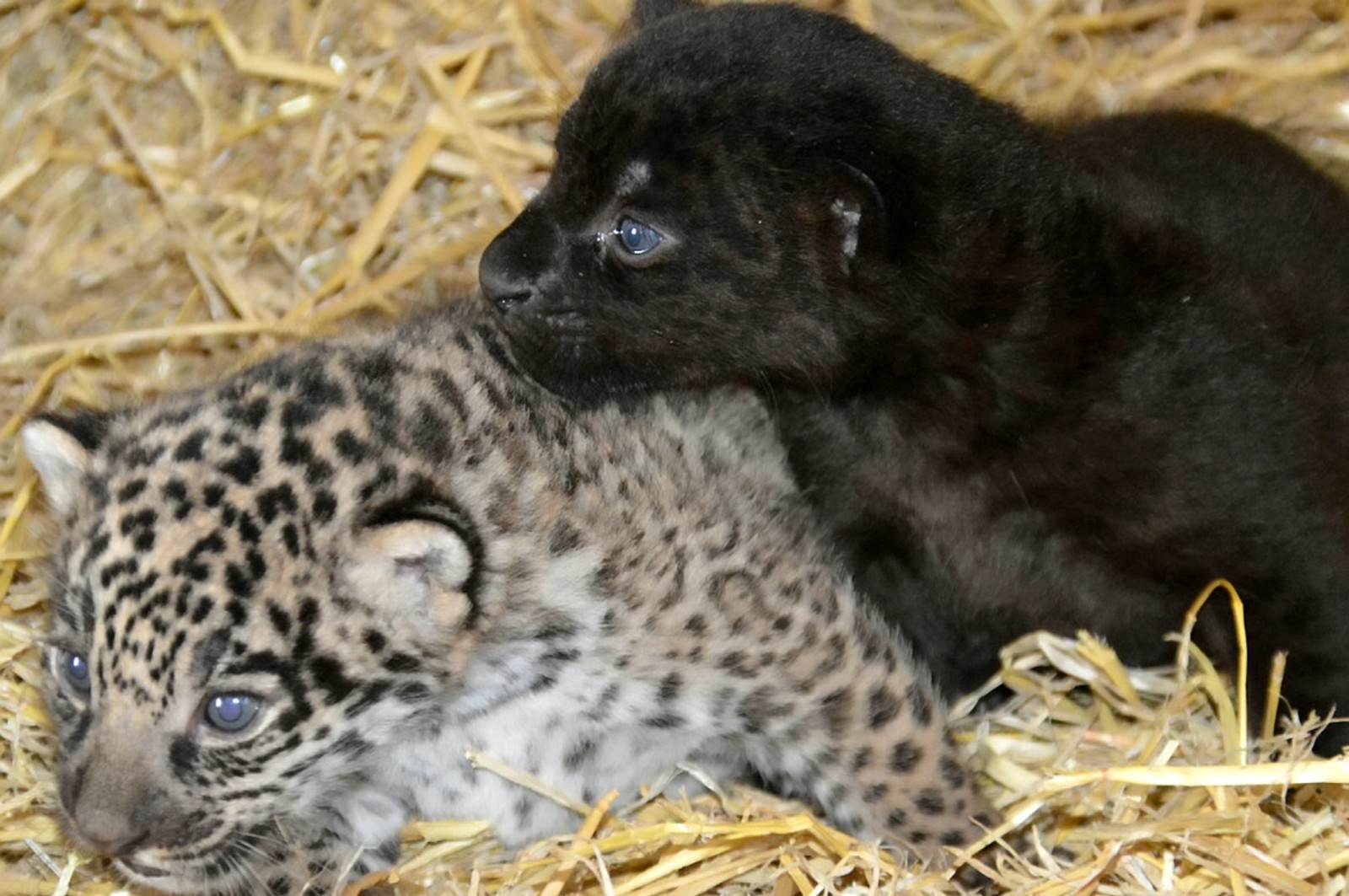 A pair of adorable baby jaguars have been born at a wildlife park