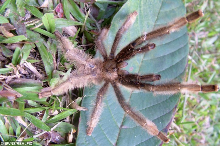 A male Phormingochilus pennellhewletti - a new species of tarantula discovered by Dean Hewlett and Mark Pennell. See SWNS story SWSPIDER: A spider fan has spent 20 years and Ã30,000 trekking the jungles across the world to find the first newly-recorded species of tarantula in 120 years. Brave Mark Pennell, 50, used to be frightened of the creepy crawlies, but after he adopted a pet tarantula to conquer his fear, he became obsessed with the creatures. The tattoo artist - who has owned more than 300 spiders - decided he wanted to find his own species of the hairy animal.