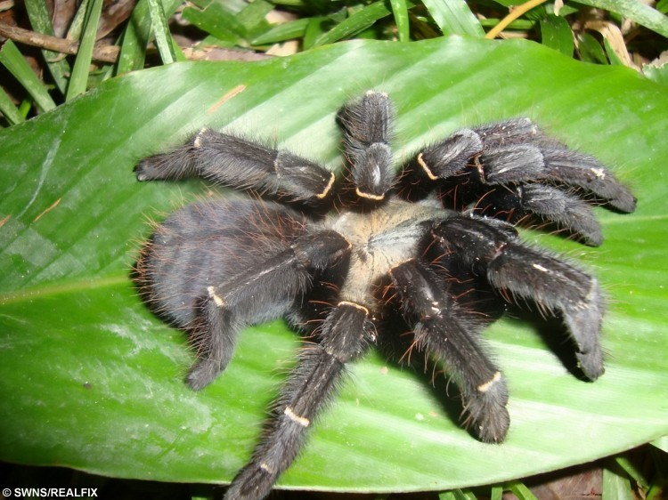 A female Phormingochilus pennellhewletti - a new species of tarantula discovered by Dean Hewlett and Mark Pennell. See SWNS story SWSPIDER: A spider fan has spent 20 years and Ã30,000 trekking the jungles across the world to find the first newly-recorded species of tarantula in 120 years. Brave Mark Pennell, 50, used to be frightened of the creepy crawlies, but after he adopted a pet tarantula to conquer his fear, he became obsessed with the creatures. The tattoo artist - who has owned more than 300 spiders - decided he wanted to find his own species of the hairy animal.