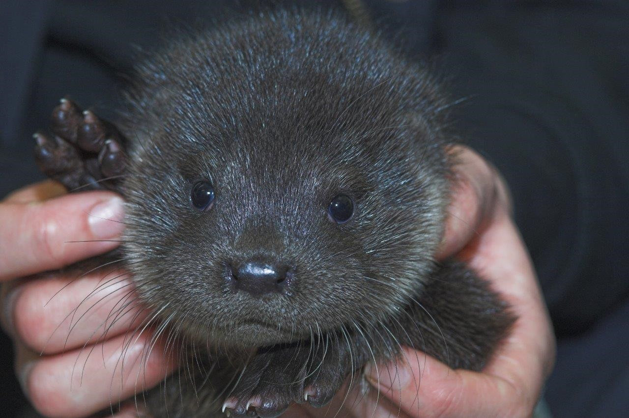 Otter cub rescued after he was found crying on a doorstep