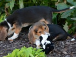 The world's first litter of in vitro puppies are unveiled