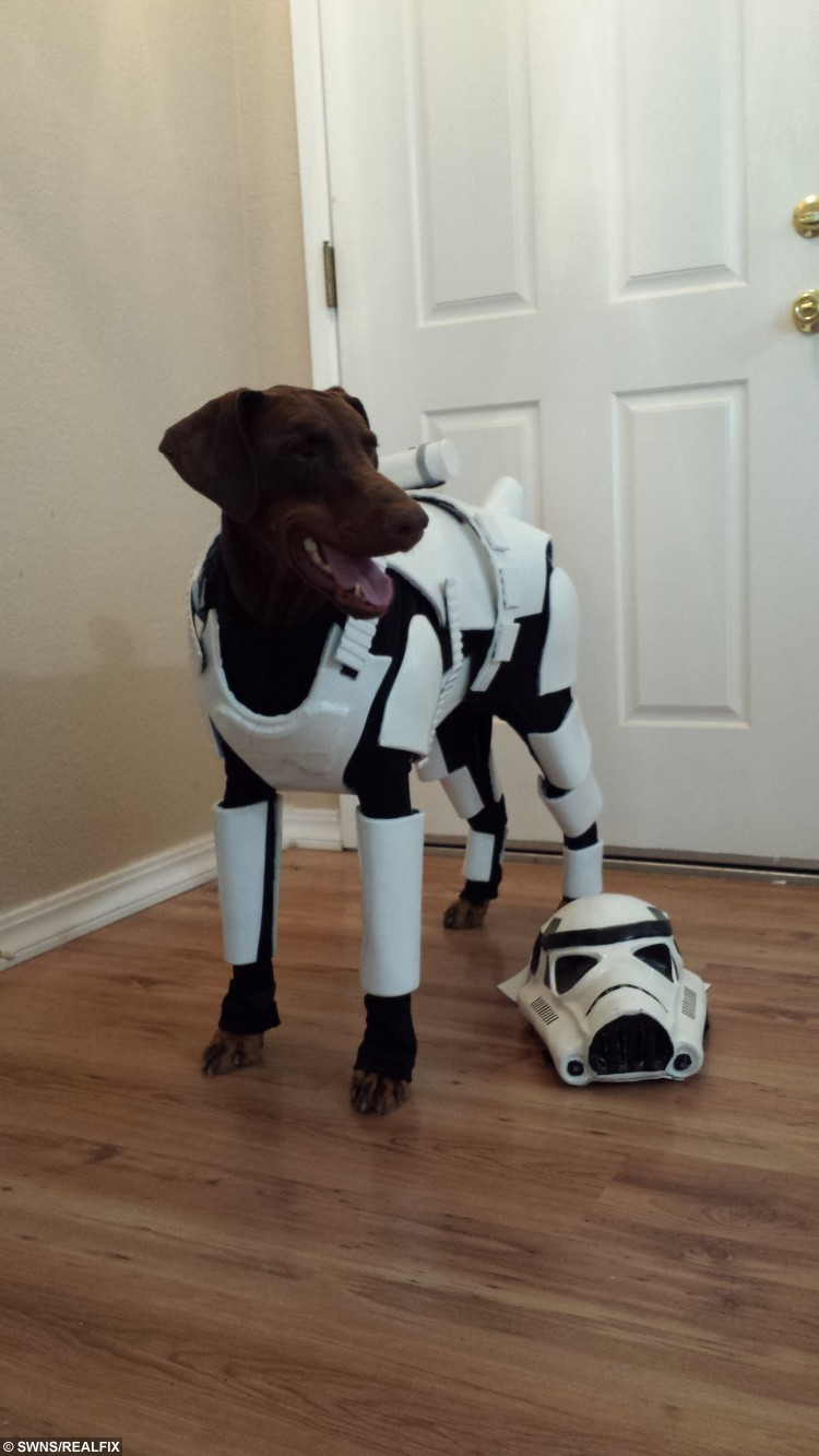 Pincher the doberman wearing the Storm trooper costume. See South West copy SWTROOPER: A Star Wars fan has created the worldÃs best dog costume, turning her Doberman into a à STORMTROOPER. The incredible full-body costume turns the massive Doberman Pincher into one of the evil Galactic EmpireÃs finest, covering her head-to-toe in the iconic white and black uniform. Sabrina Ridler spent hundreds of hours painstakingly making the bespoke costume for her beloved four-year-old pet Penny Bark-Bark. The well-behaved brown dog would look at home on any Death Star when she wears the incredible costume à which even includes a helmet. Proud owner Sabrina said: ÃPenny is now a proud member of Stormtrooper Ranch.