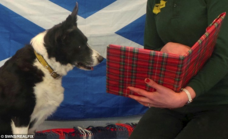Shy collie dog Maddie looks at a book of Robert Burns poetry. See Centre Press story CPBURNS; Helpers at a Scots dog home are reciting classic Burns Poems in a bid to build a shy pooch's confidence around people. Ten-year-old Collie Maddie has been at a rehoming centre for nearly a year and can get worried by being in unfamiliar settings and meeting new faces. The dog finds it hard to trust people, but staff at the Dogs Trust in Glasgow are getting her used to human interaction by reading the Bard's most popular poems. Helpers revealed Maddie particularly enjoys listening to the Burns classics 'A Winter Night' and 'Ode to Spring'.
