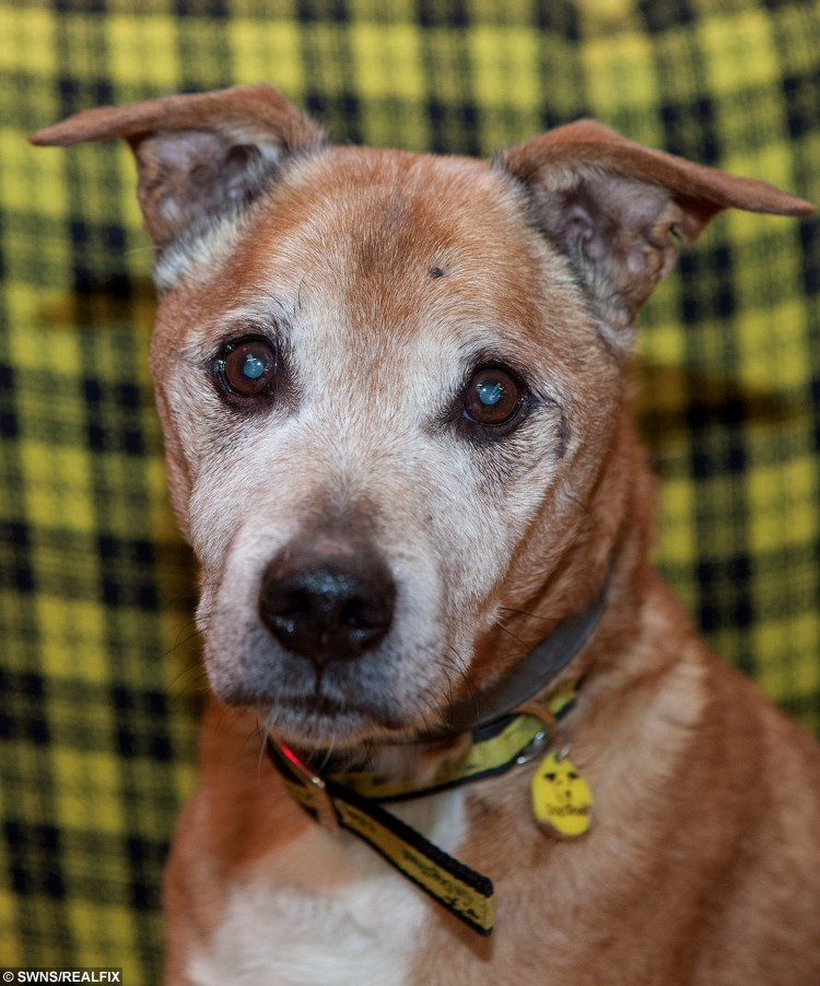 Sixteen-year-old Cracker who is the oldest dog at Dogs Trust, West Calder is looking for a home. See Centre Press story CPDOG; Scotland's oldest rescue dog is looking for a new home. Sixteen-year-old Cracker was recently handed into the Dogs Trust after his owner's health started to fail. The senior pooch, who is a crossbreed, would have just celebrated his 112th birthday if he were a human. Now in his autumn years, Cracker is a fan of a soft, comfy bed, gentleness, peace and quiet. But despite his age, he also enjoys going for walks while wearing a cosy jacket.