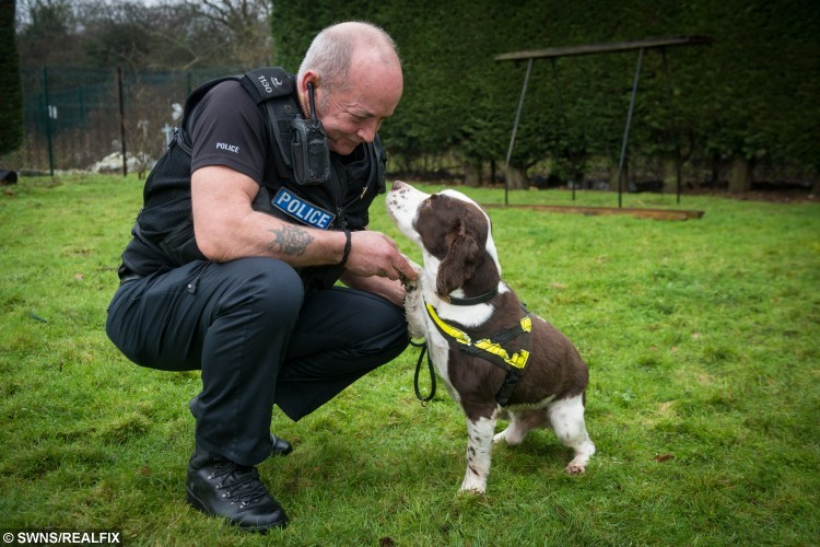 Brewster the police dog with his handler PC Dave Pert, 57. See Masons copy MNDOG: Britain's longest serving police pooch has retired from a successful career of busting drugs gangs to spend more time chasing tennis balls. Brewster, an English Springer Spaniel, served for nearly 11 years on the beat as the Bedfordshire, Cambridgeshire and Hertfordshire Dog Unit's longest serving drugs, cash and weapons dog. The 13-year-old brown and white canine, 91 in dog years, was the companion of PC Dave Pert.