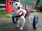 Couple fly disabled dog back from India and get him a set of wheels