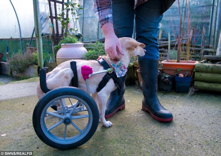 "Ian Szczypka with Indy the dog, who has had wheels fitted to help her get around. She had lost the use of her back legs after suffering a horrific attack by another dog. See Masons copy MNWHEELS: A disabled dog rescued by an animal-loving couple from appalling conditions in India is now enjoying UK life with a smart new set of wheels. The 18-month-old mongrel, named Indy, was flown back from Goa in September by animal-loving couple Angela and Ian Szczypka, who spotted her while on holiday. Despite their plans to relax on the beach, the Szczypkas fell in love with the injured puppy during a visit to a rescue centre, where they witnessed ""shocking"" conditions. The two-month-old pup had lost the use of her back legs after suffering a horrific attack by another dog. Angela and Ian, who have their own smallholding of animals back at home, were so moved by the sight of Indy that they returned to volunteer at the centre every day until they left."