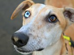 Quirky eyed dog is desperate for a loving home after six months of rejection